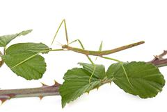 Stick insect in studio Stock Photos