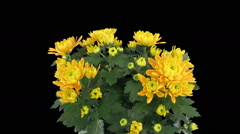 Time-lapse of opening chrysanthemum flower buds opening in RGB + ALPHA matte Stock Footage