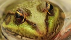 Frog sitting in the swamp extreme close up Stock Footage