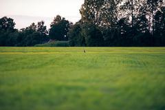 Alert grey heron sitting in farmland looking for food. Geesteren. Achterhoek. Stock Photos