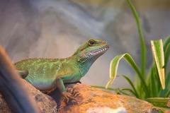 Asian water dragon Stock Photos