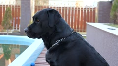 Black Labrador sitting by the pool, looking everywhere Stock Footage