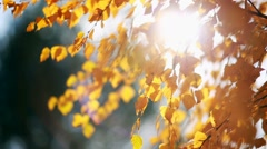 Sun shining through yellow leaves. Golden autumn Stock Footage