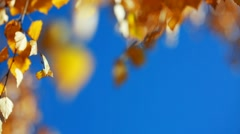 Sun shining through yellow leaves. Blue sky. Golden autumn Stock Footage