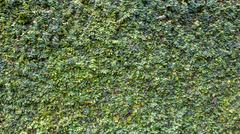 Climbing Fig or Creeping Fig on Wall Background Stock Photos
