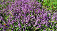 Calluna vulgaris (heather) Stock Footage