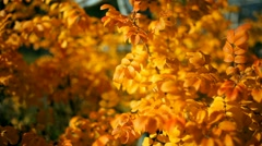 Autumn nature. Plants fall. Shrub with yellow leaves Stock Footage