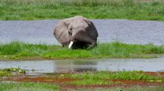 AFRICAN ELEPHANT IN SWAMP AMBOSELI KENYA AFRICA Stock Footage