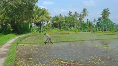 Local Laborer Working in a Rice Paddy in the Sun. 4k UltraHD footage Stock Footage