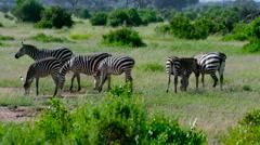 BURCHELL ZEBRA GRAZING AMBOSELI KENYA AFRICA Stock Footage