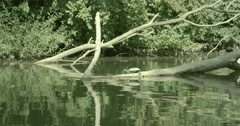Turtle on a dry tree in river Stock Footage