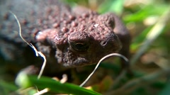 Toad close up in slow motion Stock Footage
