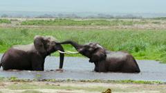 TWO ELEPHANTS SPARRING WATER AMBOSELI KENYA AFRICA Stock Footage