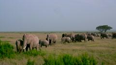 HERD OF AFRICAN ELEPHANTS AMBOSELI KENYA AFRICA Stock Footage