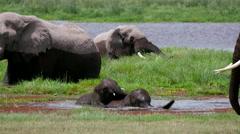 LARGE ELEPHANTS YOUNG SWAMP AMBOSELI KENYA AFRICA Stock Footage