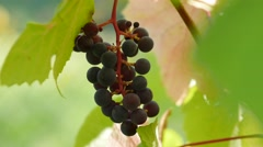 Close-up of  bunch of black grapes, 4k footage Stock Footage