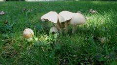 White Mushrooms In The Lawn Stock Footage