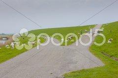 Sheep, Friesland, Netherlands Stock Photos