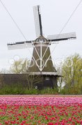 Windmill with tulip field, Holwerd, Netherlands Stock Photos