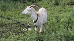 Goat on the green meadow Stock Footage