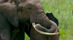 ELEPHANTS TRUNK TUSKS AMBOSELI KENYA AFRICA Stock Footage