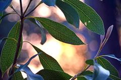 Waratah leaves back lit by sunlight at dusk Stock Photos
