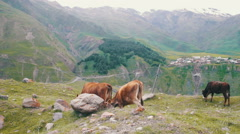 Cows Grazing on a Mountain Pasture Stock Footage
