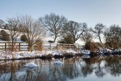Swans on a river in winter, Sarratt, UK Stock Photos