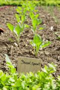 Brussel spouts grow in a vegetable garden Stock Photos