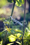 Grapevines (riesling), Alsace, France Stock Photos