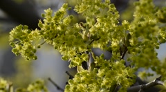 Twig a tree with green flowers in spring Stock Footage