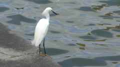 Snowy egret in Florida Stock Footage