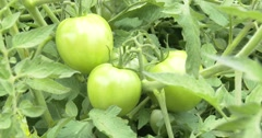 Green Tomatoes on Vine - 4k Stock Footage