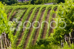 Vineyards, Southern Moravia, Czech Republic Stock Photos