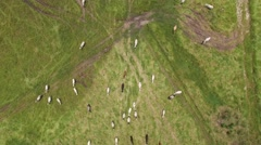 Top View of Cows on a Farm in Rural Area in Sao Paulo, Brazil Stock Footage