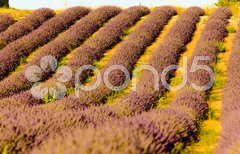 Lavender field, Plateau de Valensole, Provence, France Stock Photos
