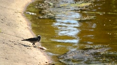 One crow eats dead fish, and the other drinks water Stock Footage