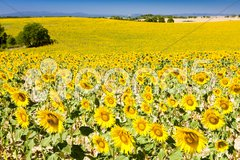 Sunflower field, Provence, France Stock Photos