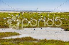 Sea gulls, Parc Regional de Camargue, Provence, France Stock Photos