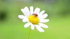 Red ladybug on white daisy Stock Footage