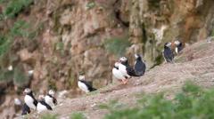 Puffins on Skomer Island, Pembrokeshire, 4K Stock Footage