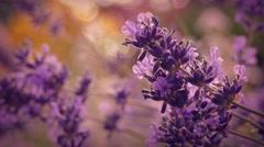 Lavender At Sunset Closeup Stock Footage