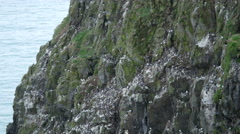 Guillemots (Uria aalge) and Kiitiwake  on a Cliff Face on Skomer, Wales Stock Footage