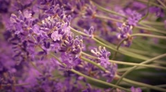 Lavender Flowers In Breeze Stock Footage