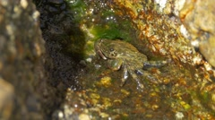Marbled rock crab (Pachygrapsus marmoratus) on the shore in Spain Stock Footage