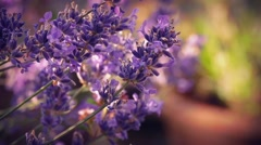 Lavender In Sunny Evening Garden Stock Footage