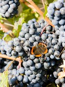 Grapevines in vineyard with butterfly, Czech Republic Stock Photos