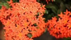 Beautiful red Ixora species flowers on leaves background Stock Footage