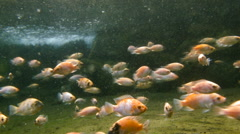 Juvenile Tilapia fish shot underwater in a natural pool Stock Footage