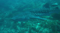 Whale shark on a coral reef. 4k Stock Footage
